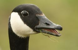 A head shot of a feeding Canada Goose Branta canadensis with its beak open and tongue showing. Royalty Free Stock Photo