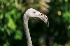 Head shot of flamingo with bokeh background Royalty Free Stock Photos