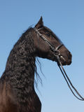 Head Shot Of Friesian Horse Stock Photo