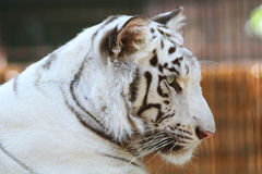 Head shot of a gentle tiger. Side view portrait of a white tiger royalty free stock images