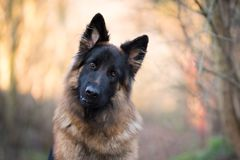 Head shot of german shepherd in spring morning sun. Portrait of german shepherd in spring morning sun royalty free stock photo