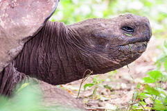Head shot of a Giant Tortoise Royalty Free Stock Photos