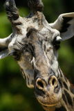 Head Shot of a Giraffe Royalty Free Stock Images