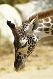 Head Shot of a Giraffe Royalty Free Stock Photos