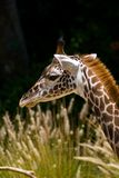 Head Shot of a Giraffe Stock Photography