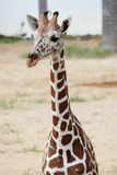 Head shot of the giraffe Royalty Free Stock Photos