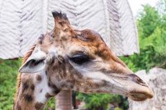Head shot of giraffe Stock Images