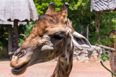 Head shot of giraffe Royalty Free Stock Images