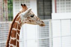 Head shot of the giraffe Royalty Free Stock Photo