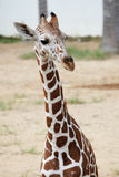 Head shot of the giraffe Stock Image