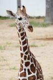 Head shot of the giraffe Stock Image