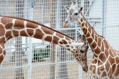 Head shot of the giraffe Stock Images