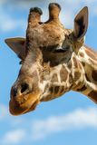 A head shot of a giraffe smirking with copy space on 3rd of April 2018 stock photos