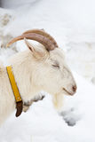 Head shot of a goat Stock Image