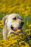 Head shot of Golden Retriever Royalty Free Stock Photo