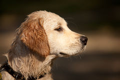 Head shot of Golden Retriever Puppy Stock Photography