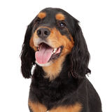 Head Shot of Gordon Setter Mix Breed Dog. Mouth is open with tongue hanging out Royalty Free Stock Images