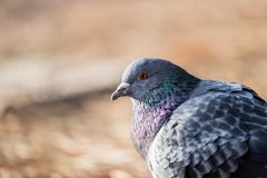 Head shot of pidgeon in a park. Head shot of gray pidgeon in a park royalty free stock images