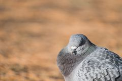 Head shot of pidgeon in a park. Head shot of gray pidgeon in a park royalty free stock photos