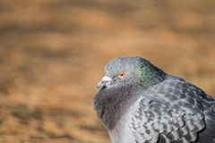 Head shot of pidgeon in a park. Head shot of gray pidgeon in a park stock photos