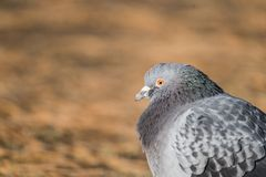 Head shot of pidgeon in a park. Head shot of gray pidgeon in a park royalty free stock photo