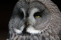 Head Shot of a Great Grey Owl. Close up Head Shot of a Great Grey Owl (Stryx nebulosa) Showing Facial and Feather Detail Stock Images