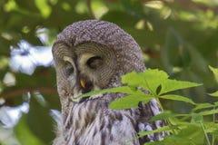 Head shot of a Great Grey Owl sleeping in a tree