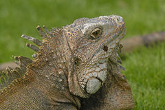 Head shot of a Green Iguana Stock Photography