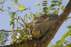 Green Iguana resting stock images