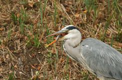 A Head shot of a Grey Heron Ardea cinerea eating a fish which is a perch on the bank on the side of a lake. Stock Photo