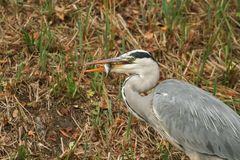 A Head shot of a Grey Heron Ardea cinerea eating a fish which is a perch on the bank on the side of a lake. Stock Image