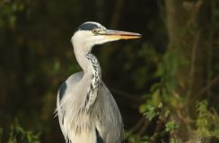 A Head shot of a Grey Heron Ardea cinerea with its tongue sticking out. Royalty Free Stock Images