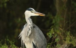 A head shot of a Grey Heron Ardea cinerea with its tongue sticking out. A head shot of a large Grey Heron Ardea cinerea with its tongue sticking out Stock Photo