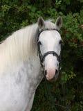 Grey Horse Head Shot Royalty Free Stock Photography