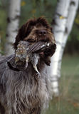 Head shot of a griffon holding a pheasant. Head shot of a wired hair pointing griffon holding a pheasant in his mouth with some birch trees in the background Stock Photos