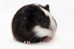 HEAD SHOT GUINEA PIG BABY stock photography