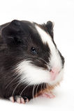 HEAD SHOT GUINEA PIG BABY Stock Photo