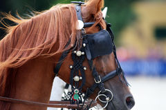 Head shot of a harnessed horse with blinds Stock Photo