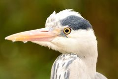 Head shot of a heron Stock Photos