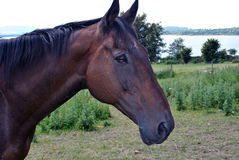 Head shot of a horse stock image