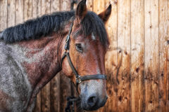 Head shot of a horse. Against a wooden background Stock Photos