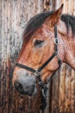Head shot of a horse. Against a wooden background Royalty Free Stock Photo
