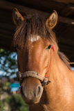 The head shot of a horse Royalty Free Stock Photo