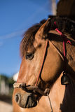 The head shot of a horse Royalty Free Stock Image