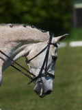 Head Shot of Horse Doing Dressage Stock Photos