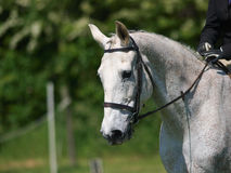 Head Shot of Horse Doing Dressage Stock Images