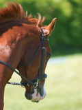 Horse Headshot in Bridle Royalty Free Stock Photos