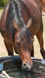 Head on shot of a horse drinking royalty free stock photos