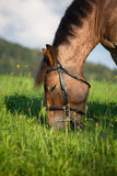 Head shot of a horse. On a fileld Royalty Free Stock Photos