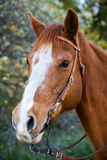 Head shot of a horse Stock Photo